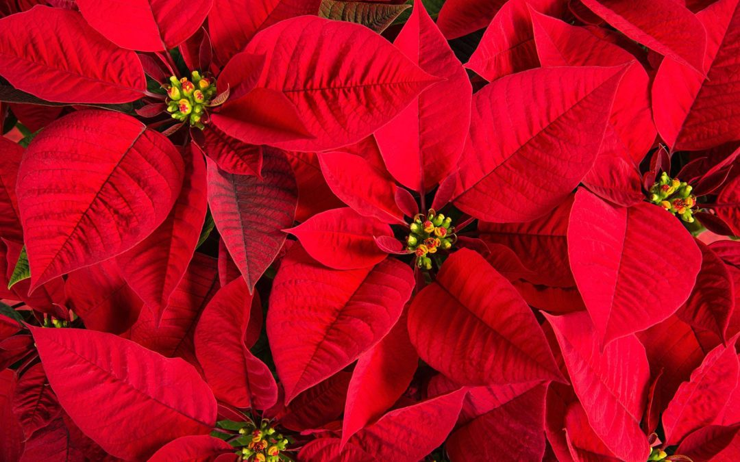 Poinsettias Now On Sale!